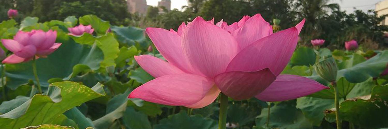 【觀音蓮花季】(D)蓮花水上漂。機器人夢工廠 -台北出發