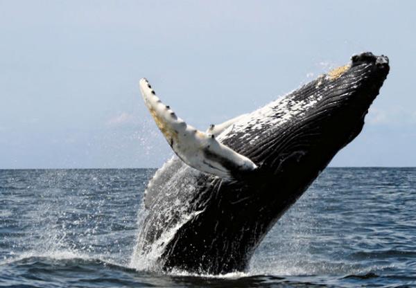 【沖繩】北谷SEA PARK賞鯨